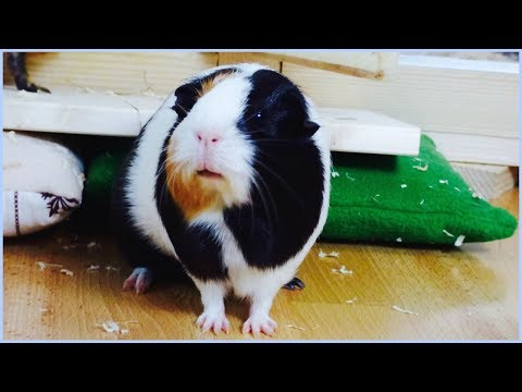 Floor Time Tips for Guinea Pigs