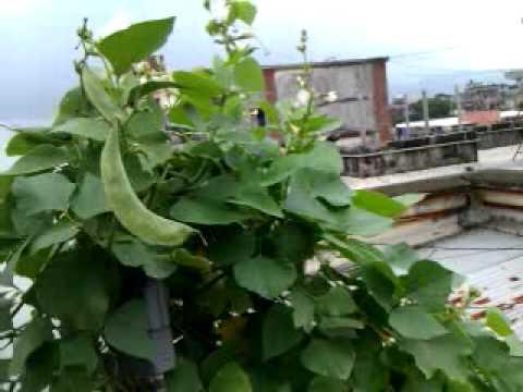 Terrace vegetable farming youtube for Terrace vegetable garden kerala