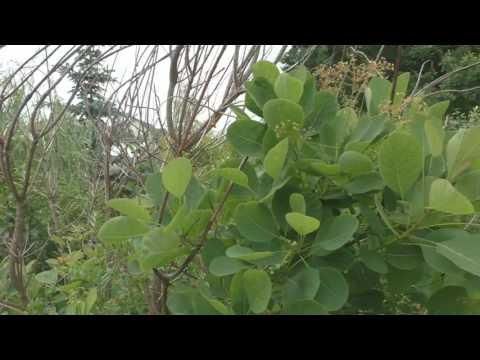Кустарник скумпия – посадка и уход; фото скумпии, растение