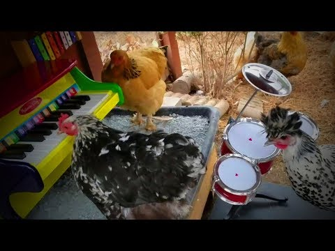Cute Chickens 🐔🐔 Playful Funny Chickens (Part 1) [Funny Pets]