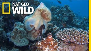 "Octopuses Mate With a Special ""Sex Arm"" 