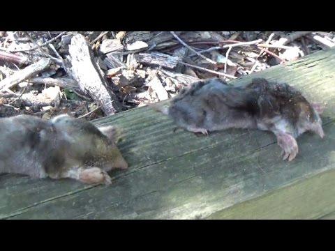 Catching Moles with Trapline Mole Traps