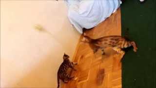 Бенгальский кот.Бенгальские котята.Bengal cats playing
