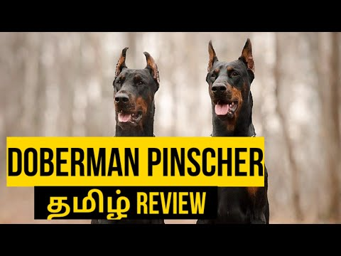 Doberman pinscher facts and information | pets ulagam tamil |