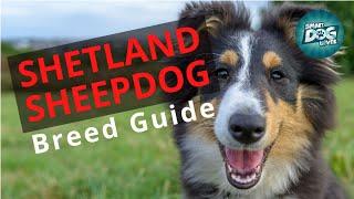 Shetland Sheepdog Dog Breed Guide