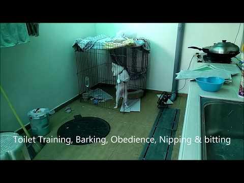 Dog Training Singapore Milou Japanese Spitz
