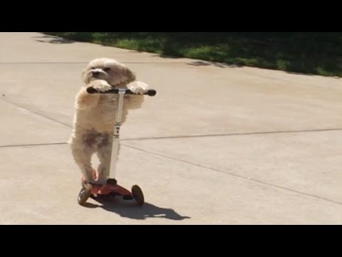 Impressive Dog Rides Scooter