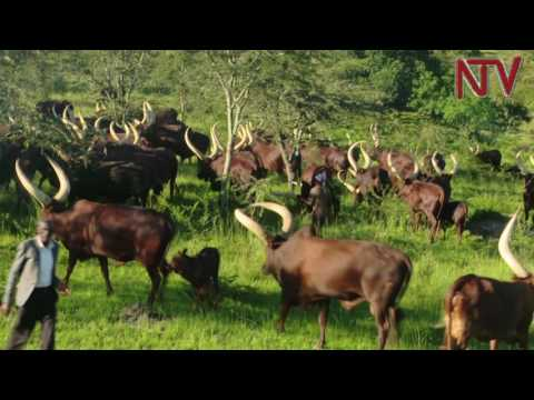 On The Farm: Tips on getting the best out of Ankole cattle