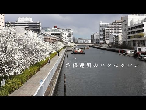 Riverside Magnolia in Koto-ku【汐浜運河のハクモクレン】3.21 TOKYO TODAY