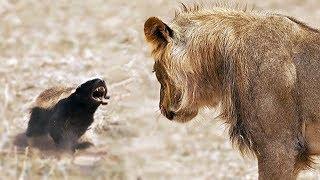 TEXUGO-DO-MEL - UM DOS ANIMAIS MAIS CORAJOSOS E DESTEMIDOS DO MUNDO!!!