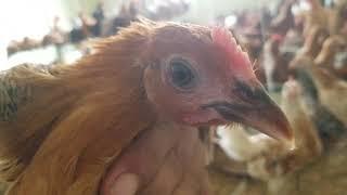 Vacine ,eggs sales,contact info,feed Desi murgi/golden misri