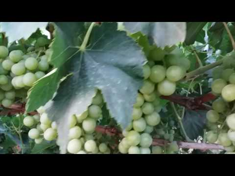 Table Grapes, Israel