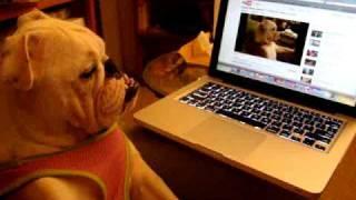 English Bulldog Watching Her Own Youtube Video Of English Bulldog Watching Tv On A Couch