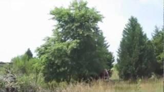 Wild Black Cherry Tree - Picking Fruit - Making Pancakes - Prunus Serotina