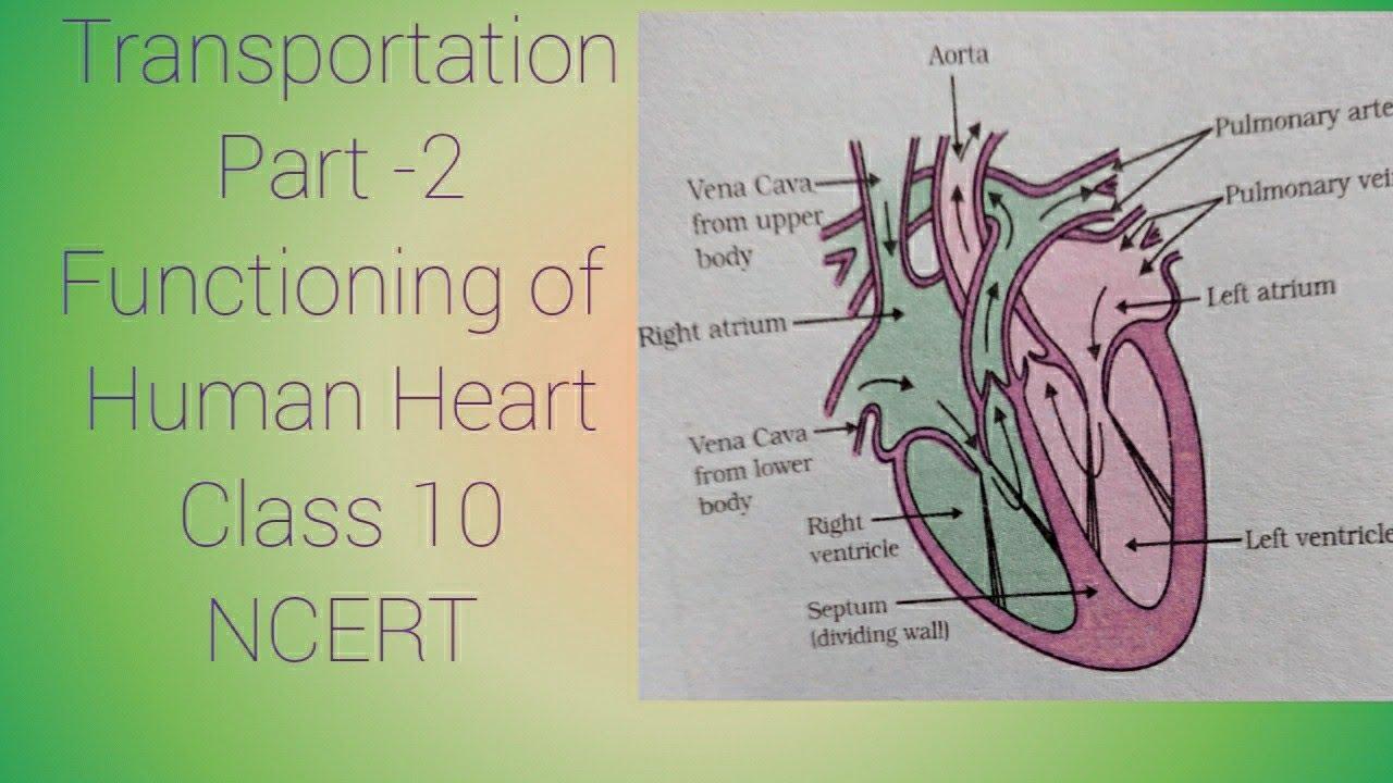 Human Heart || Class 10 Chapter 6 NCERT | Video -9 - YouTube
