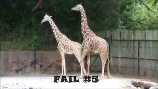 Animal Sex Videos Giraffe Sex