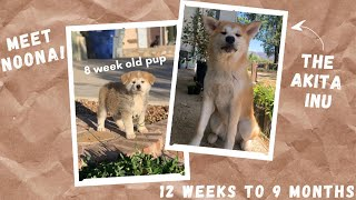 12 WEEKS TO 9 MONTHS PUPPY GROWTH | AKITA INU | Meet my new dog!