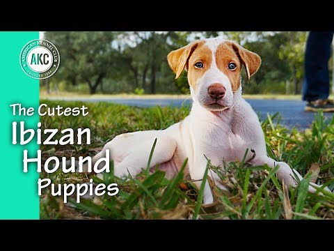 The Cutest Ibizan Puppies Ever Playing