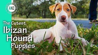 The Cutest Ibizan Hound Puppies