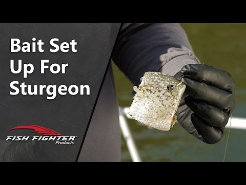 How To Choose And Set Up Bait For Sturgeon Fishing | Fish Fighter Products