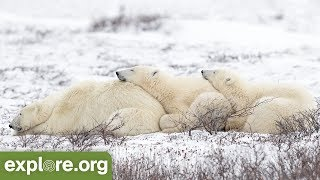 Five Fascinating Facts About Polar Bears Hunting - Never Stop Learning