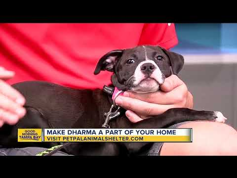 Pet of the week: Dharma is a special puppy needing a loving home after having leg amputated