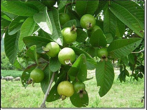How to plant a Guava tree?