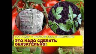 УХОД ЗА РАССАДОЙ ТОМАТОВ И ПОДКОРМКА. помидоры без пикировки