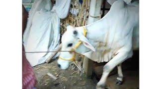 ANGRY JUMPING BACHI COW IN PHOOLBARI ||BAKRID 2020|| ||MEMORIES❤️||
