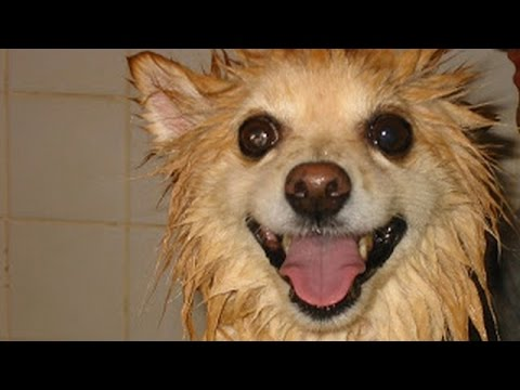 Dogs go crazy after bathing - Funny dog compilations
