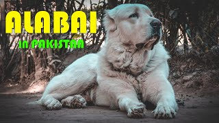 World Largest Dog Breed In Pakistan Alabai || Central Asian Shepherd || Alabai dog breed