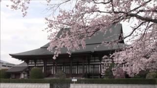 Cherry Blossom at Taiseki Temple, Fujinomiya, Japan 09/Apr/2016 #3 富士宮大石寺の桜 thumbnail