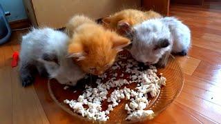 Котята первый раз пробуют курицу.    Funny Cats And Kittens Who Don't Want To Share Their Food