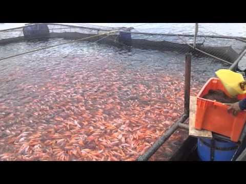 Cultivo de tilapia roja en recirculaci n del agua cual for Jaulas flotantes para piscicultura