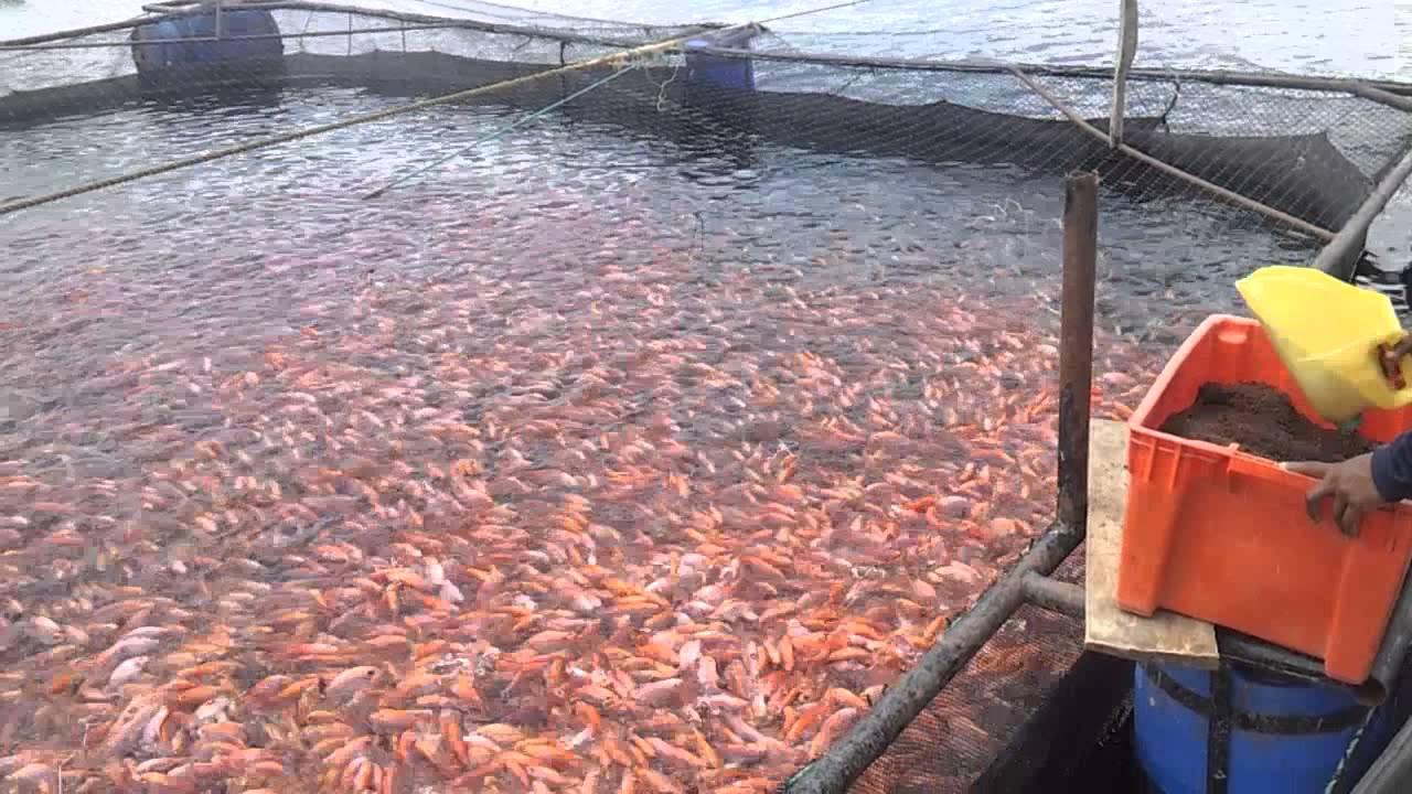 Cultivo intensivo de tilapia roja en jaula flotante youtube Piscinas para tilapias
