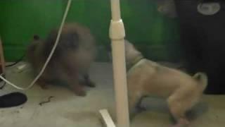 Pug Vs Evil Pomeranian