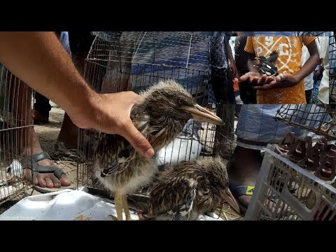 Incredible Birds For Sale At Bird Market In Bangladesh | Myna | Dove | Shalik Birds At Pigeon Market