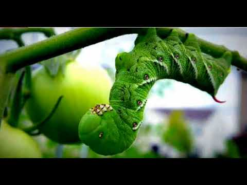 Fantastic And Bizarre Caterpillar Facts Toxic Nicotine Breath || Facts Academy Video