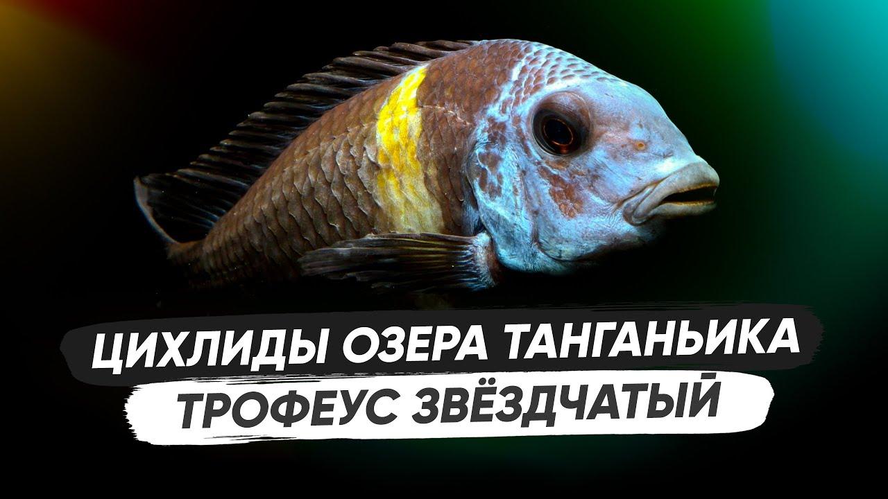 Трофеус Звёздчатый / Содержание, разведение, кормление, оформление аквариума, биотоп