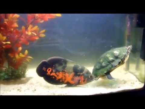 Oscar Fish Vs Turtle