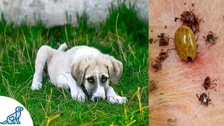 Symptoms of Lyme Disease in Dogs- And Why It's SO Dangerous - Professional Dog Training Tips
