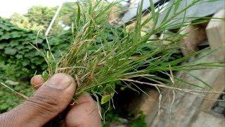 Heals eyes/skin diseases/allergy/bleeding problems - Cynodon/Doob grass