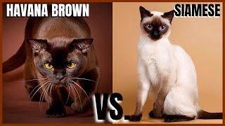Havana Brown Cat VS. Siamese Cat