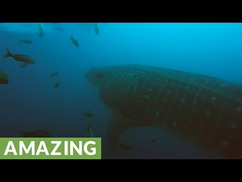 Massive whale sharks swims right through group of scuba divers