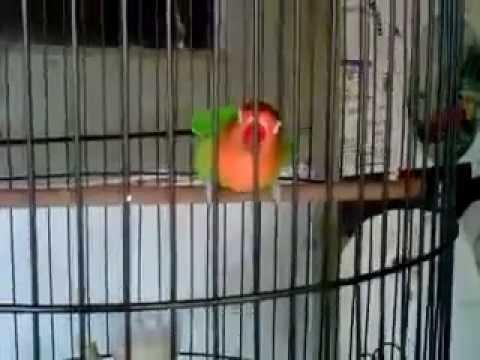Lovebird - Lovebird Ngekek Panjang Gaya Langka