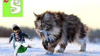Самая большая кошка Мейн Кун Maine Coon cat Выставка кошек Много кошек Смотреть Всем The biggest cat