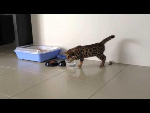 Cheetoh Cat / Kitten Enzo at 12 Weeks