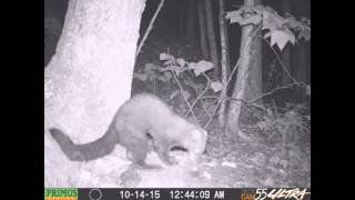 Fisher Cat Animal Camera October 2015