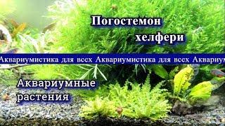 видео Погостемон эректус - содержание, размножение, стрижка