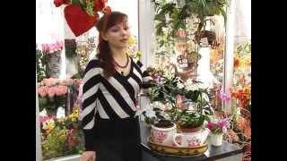 Уход за комнатными растениями от Ирины. Стефанотис(, 2013-06-26T14:03:22.000Z)